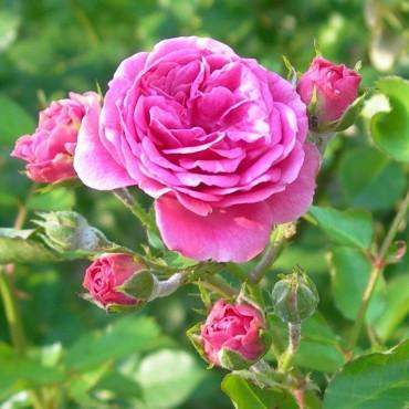 rosa-damascena-