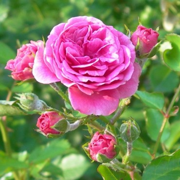 rosa-damascena-