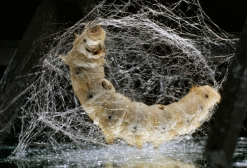 A mulberry silk moth larva ejects a lustrous silk fiber.